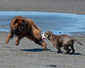Dogs fighting on the beach a beautiful blue brindle olde english bulldog and eurasier hound playing and together Royalty Free Stock Photo