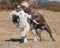 Dogs fighting on the field a beautiful blue brindle olde english bulldog and eurasier hound playing and together Stock Image