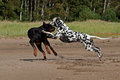 Dogs fighting on the sand a beautiful rottweiler and dalmatian hound playing and together beach Stock Photos