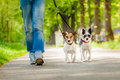 Dogs going for a walk owner and two Stock Photography