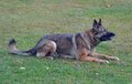 Dogs grey sable color female german shepherd dog laying down on command ready to respond to the handler Stock Images