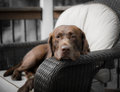 A dogs life its relaxing on comfortable chair deep in thought Royalty Free Stock Images