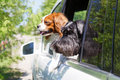 Dogs look out the open car window Royalty Free Stock Photo