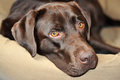 Dogs look portrait of a chocolate labrador retriever Stock Photos
