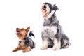 Dogs looking up towards blank white copyspace two a small yorkshire terrier and schnauzer with alert attentive expressions Royalty Free Stock Image