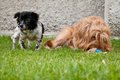 Dogs lying down two in the garden Royalty Free Stock Photography