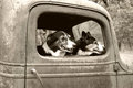 Dogs in old truck boarder collie and heeler an Stock Images