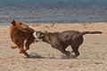 Dogs play fighting on the beach olde english bulldog and irish terrier playing Stock Image