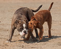 Dogs play fighting on the beach olde english bulldog and irish terrier playing Royalty Free Stock Images