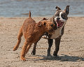 Dogs play fighting olde english bulldog and the irish terrier playing on the beach Stock Photos