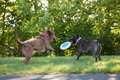 Dogs playing at the park two labrador retriever frisbee a Stock Photo