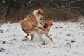 Dogs playing in snow a mongrel dog and a pup the Royalty Free Stock Photo
