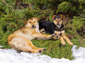 Dogs resting together under spruce Stock Photos