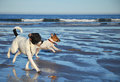 Dogs running on the beach Royalty Free Stock Photo