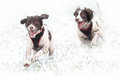 Dogs running in snow energetic and chasing each other the Stock Photo