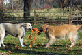Dogs sharing toy Royalty Free Stock Photo