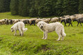 Dogs and sheep Royalty Free Stock Photo
