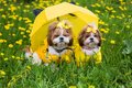 Two dogs Shih Tzu in a yellow dress sitting under an umbrella on a background of yellow dandelions Royalty Free Stock Photo
