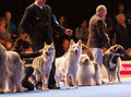 Dogs in the show ring july th paris france czechoslovakian wolfdogs and american swiss white shepherd at world dog Royalty Free Stock Image
