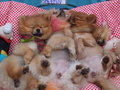 Dogs sleeping cute Stock Images