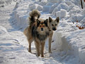 Dogs on Snow 1 Stock Image