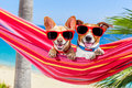 Dogs summer hammock couple of two relaxing on a fancy red with sunglasses in vacation holidays at the beach under the palm tree Stock Images