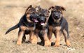 Dogs 00011 Royalty Free Stock Photo