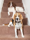 Dogs two sitting on home stairs Royalty Free Stock Image