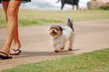 Dogs view pet puppy dog walking behind woman owner Royalty Free Stock Photo