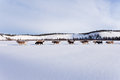Dogsled team of siberian huskies out mushing on snow pulling a sled that is frame through a winter landscape Royalty Free Stock Images