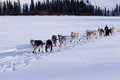 Dogsled team of siberian huskies out mushing on snow pulling a sled that is frame through a winter landscape Stock Images