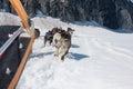 Dogsledding Royalty Free Stock Photo