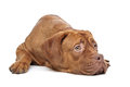 Dogue de Bordeaux Stock Images