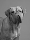 Dogue De Bordeaux black-and-white portrait Royalty Free Stock Images