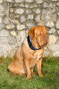 Dogue De Bordeaux portrait Royalty Free Stock Photography