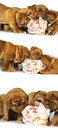 Dogue de Bordeaux puppy and a large bone, raw meat Royalty Free Stock Photo