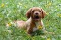 Dogue de Bordeaux puppy Royalty Free Stock Photo