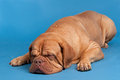 Dogue De Bordeaux sleeping Stock Image