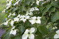Dogwood in bloom. Royalty Free Stock Photo