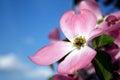 Dogwood bloom Royalty Free Stock Photo