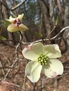 Dogwood bloom in springtime Royalty Free Stock Photo