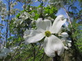 White Dogwood Blossoms and Blue Sky Royalty Free Stock Photo