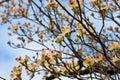 Dogwood Blossoms Royalty Free Stock Photo