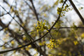 Dogwood branch with flowers Royalty Free Stock Photo