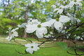 Dogwood a flowering in the spring time Stock Photography