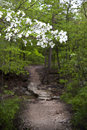 Dogwood tree along a wooded arkansas trail closeup of branch from flowering pathway on in Royalty Free Stock Photo