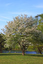 Dogwood tree in blossom near lake in spring Stock Image