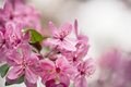 Dogwood Tree Flowers Close Up In Spring Royalty Free Stock Photo