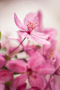 Dogwood Tree Flowers Close Up In Spring Vertical Royalty Free Stock Photo