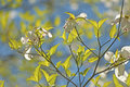 Dogwood trees and new spring growth. Royalty Free Stock Photo